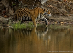 bengal-tiger-india-1467-copyright-photographers-on-safari-com