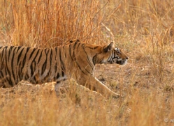 bengal-tiger-india-1469-copyright-photographers-on-safari-com