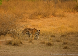bengal-tiger-india-1470-copyright-photographers-on-safari-com