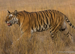 bengal-tiger-india-1471-copyright-photographers-on-safari-com