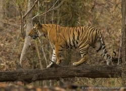 bengal-tiger-india-1472-copyright-photographers-on-safari-com