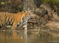 bengal-tiger-india-1473-copyright-photographers-on-safari-com