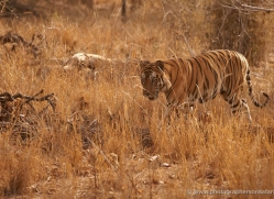 bengal-tiger-india-1478-copyright-photographers-on-safari-com