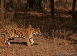 bengal-tiger-india-1480-copyright-photographers-on-safari-com