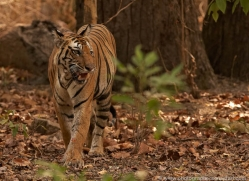 bengal-tiger-india-1481-copyright-photographers-on-safari-com