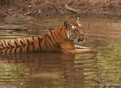bengal-tiger-india-1483-copyright-photographers-on-safari-com