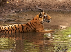 bengal-tiger-india-1484-copyright-photographers-on-safari-com