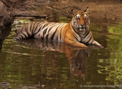 bengal-tiger-india-1485-copyright-photographers-on-safari-com