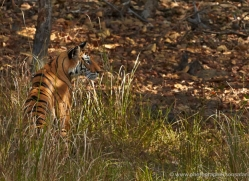 bengal-tiger-india-1487-copyright-photographers-on-safari-com