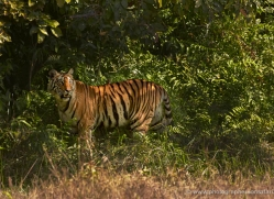 bengal-tiger-india-1489-copyright-photographers-on-safari-com