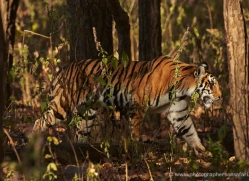 bengal-tiger-india-1491-copyright-photographers-on-safari-com