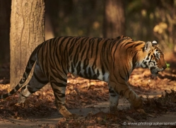 bengal-tiger-india-1492-copyright-photographers-on-safari-com