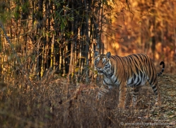 bengal-tiger-india-1494-copyright-photographers-on-safari-com