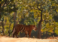 bengal-tiger-india-1496-copyright-photographers-on-safari-com