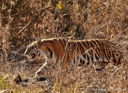 bengal-tiger-india-1497-copyright-photographers-on-safari-com