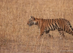 bengal-tiger-india-1498-copyright-photographers-on-safari-com