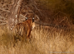 bengal-tiger-india-1502-copyright-photographers-on-safari-com
