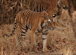 bengal-tiger-india-1504-copyright-photographers-on-safari-com