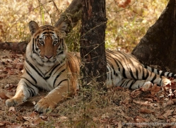 bengal-tiger-india-1507-copyright-photographers-on-safari-com