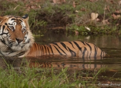 bengal-tiger-india-1508-copyright-photographers-on-safari-com