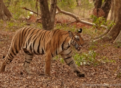 bengal-tiger-india-1510-copyright-photographers-on-safari-com