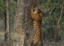 bengal-tiger-india-1515-copyright-photographers-on-safari-com