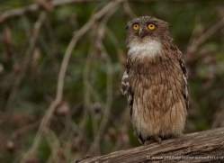 brown-wood-owl-india-1408-copyright-photographers-on-safari-com