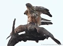 changeable-hawk-eagle-india-1419-copyright-photographers-on-safari-com