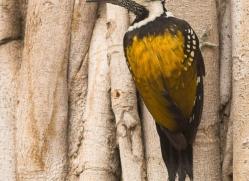 common-flameback-woodpecker-india-1423-copyright-photographers-on-safari-com