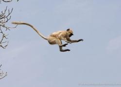 langur-monkey-india-1372-copyright-photographers-on-safari-com