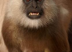 langur-monkey-india-1374-copyright-photographers-on-safari-com
