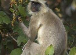 langur-monkey-india-1378-copyright-photographers-on-safari-com