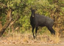nilgai-india-1386-copyright-photographers-on-safari-com