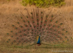 peacock-india-1411-copyright-photographers-on-safari-com