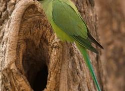 rose-ringed-parakeet-india-1450-copyright-photographers-on-safari-com