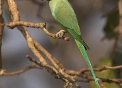 rose-ringed-parakeet-india-1451-copyright-photographers-on-safari-com
