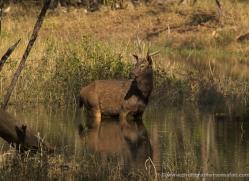 sambar-deer-india-1401-copyright-photographers-on-safari-com