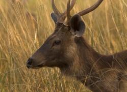 sambar-deer-india-1402-copyright-photographers-on-safari-com