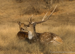 spotted-deer-chital-india-1387-copyright-photographers-on-safari-com
