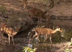 spotted-deer-chital-india-1388-copyright-photographers-on-safari-com