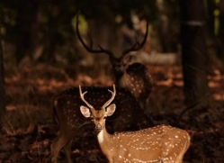 spotted-deer-chital-india-1389-copyright-photographers-on-safari-com