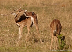 spotted-deer-chital-india-1390-copyright-photographers-on-safari-com