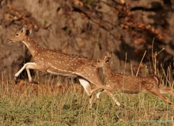 spotted-deer-chital-india-1393-copyright-photographers-on-safari-com