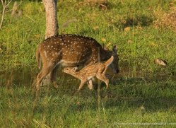 spotted-deer-chital-india-1395-copyright-photographers-on-safari-com