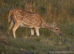 spotted-deer-chital-india-1396-copyright-photographers-on-safari-com