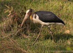 adjutant-stork-india-1414-copyright-photographers-on-safari-com