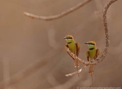 bee-eater-india-1407-copyright-photographers-on-safari-com