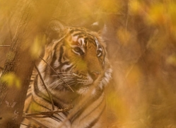 bengal-tiger-india-1457-copyright-photographers-on-safari-com