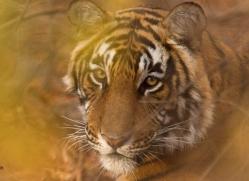 bengal-tiger-india-1460-copyright-photographers-on-safari-com