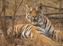 bengal-tiger-india-1461-copyright-photographers-on-safari-com